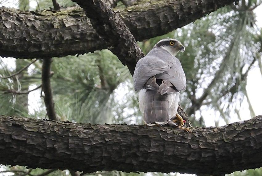 中型の小鳥を餌食にする、オオタカを撮りました。09.6.3