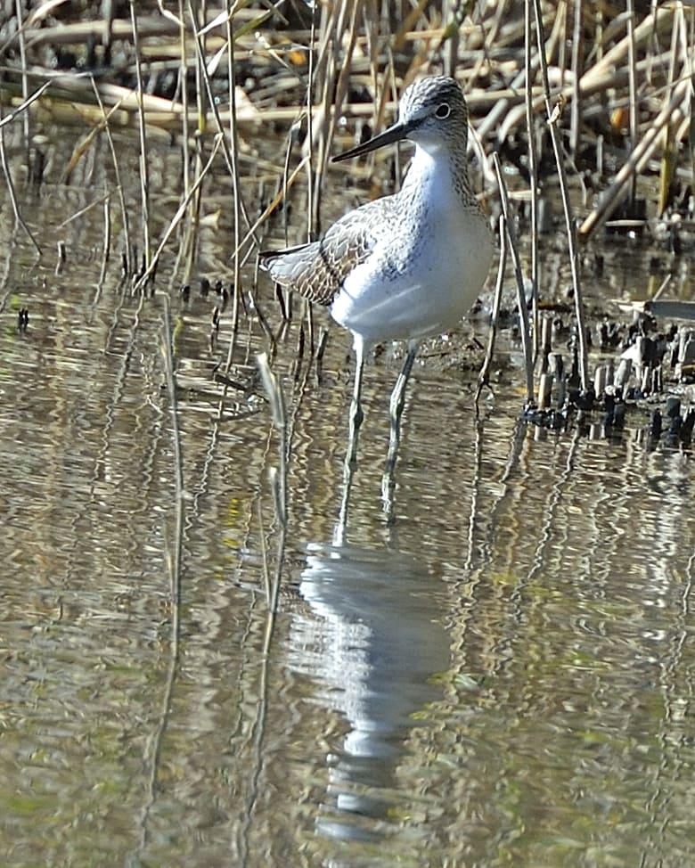 アオアシシギ(Common Greenshank)      —13.8.15—