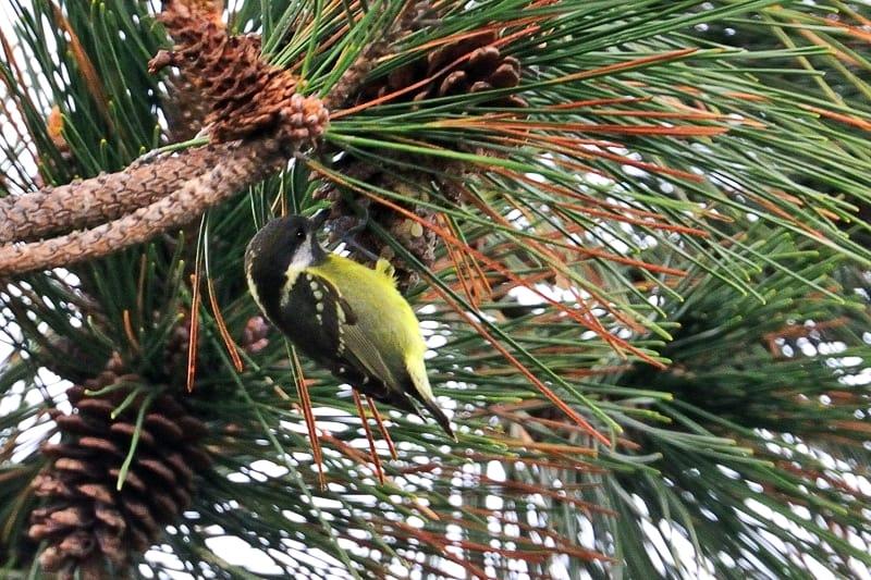 珍鳥キバラガラ(Yellow-bellied Tit)                    —'15.12.27—