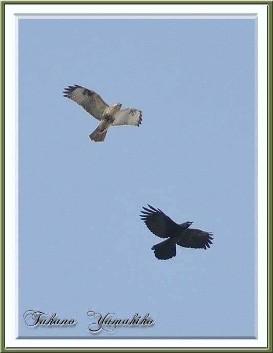 ノスリが大空でカラスとbattle,カワウの大群編隊   —2012.11.16—