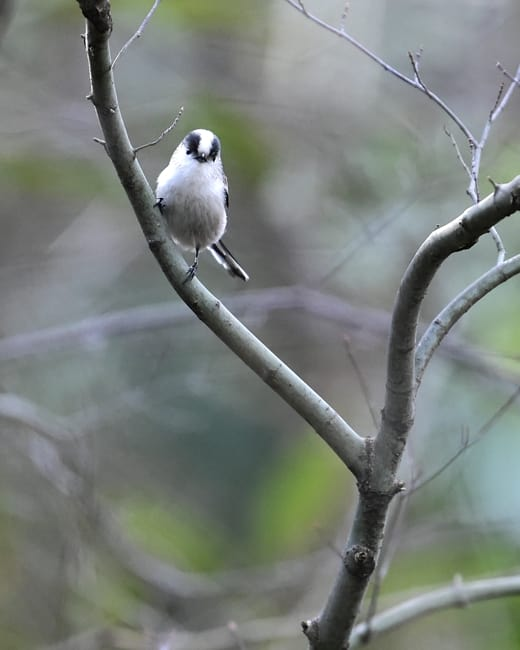 エナガ(Long-tailed Tit)      —15.1.16—