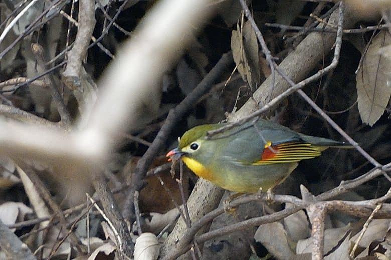 かわいい相思鳥見っけ!    —2012.11.28—