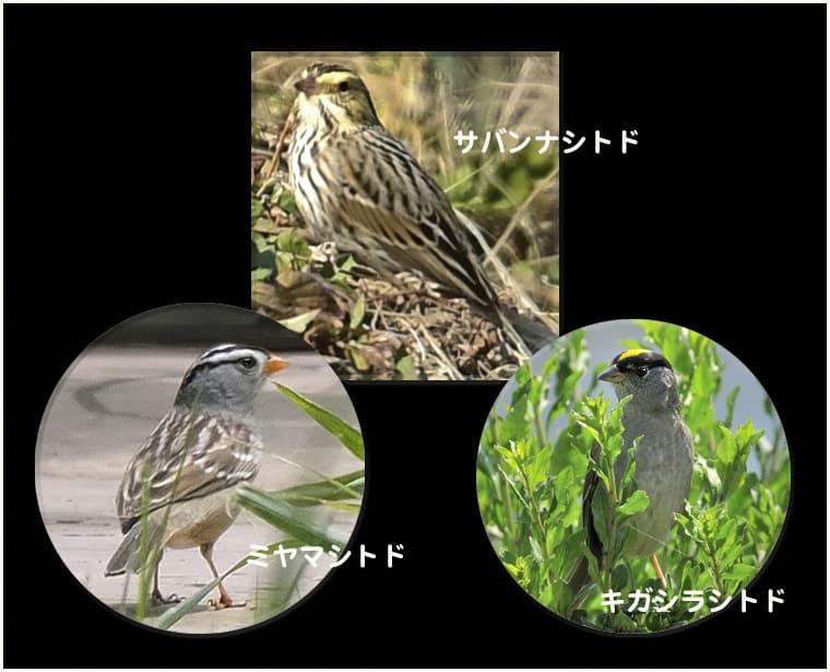 珍鳥サバンナシトド(Savanna Sparrow)と類似種との比較①   —2016.2.19—