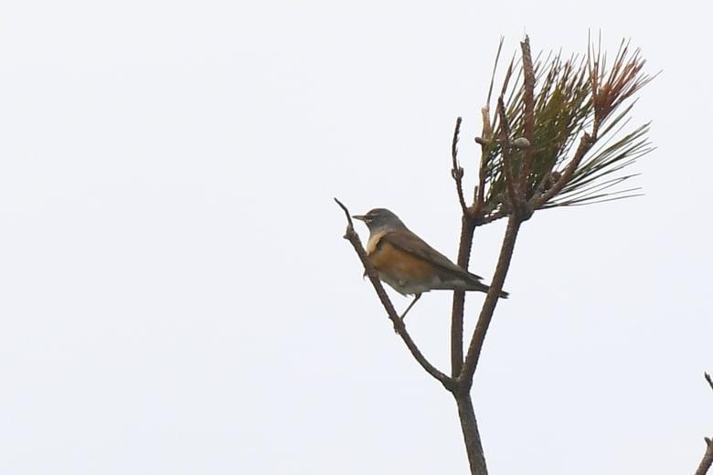 ⭐舳倉島遠征—-いつものお馴染みの小鳥たち—マミチャジナイ —16.5.2~6—