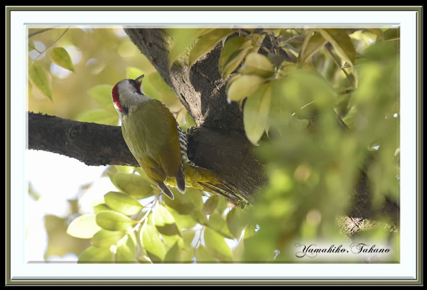 アオゲラ(Japanese Green Woodpecker) 雄   —15.1.23—