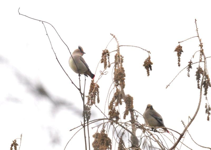 緋&黄レンジャクがS県のA公園に入りました。というわけで、早速訪問。(09.2.24)---番外編