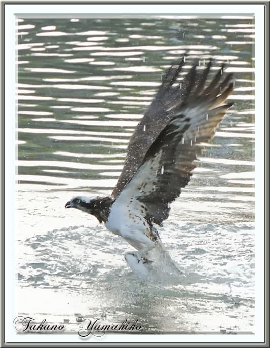 舳倉島への出港地—ミサゴ(osprey)の狩り・・輪島川の夕刻 —13.5.13—