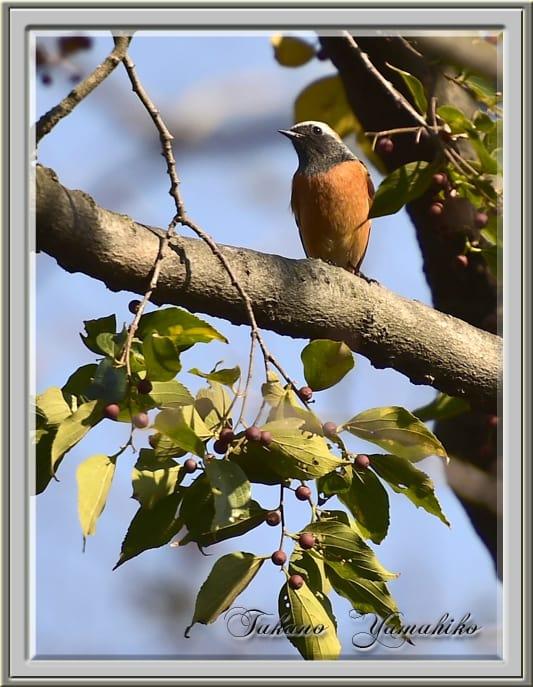 ジョウビタキ(Daurian Redstart ) ♂ ♀        —'14.11.22—