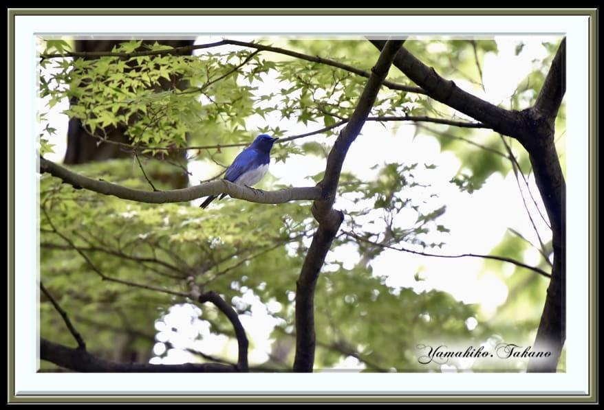 オオルリ(Blue &White Flycatcher)  今春初撮り      —14.4.20—