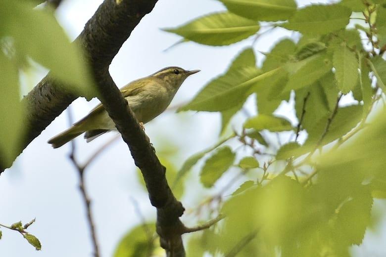センダイムシクイ(Eastan Crowned Warbler)       —15.4.25—