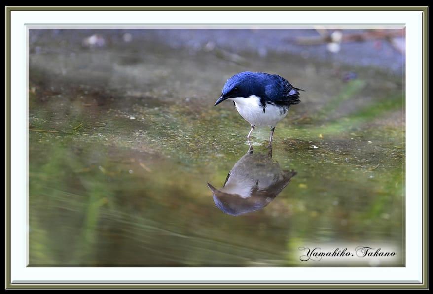 2015.5-舳倉島野鳥撮影レポート–コルリ(Siberian blue robin)     —2015.5.12—