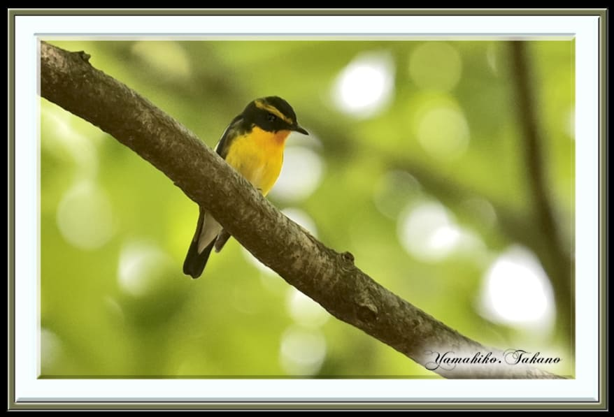 キビタキ(Narcissus Flycatcher)    —15.4.23—