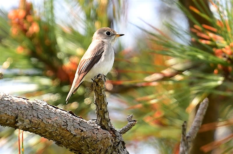 サメビタキ(Siberian Flycatcher) -舳倉島特集〜17