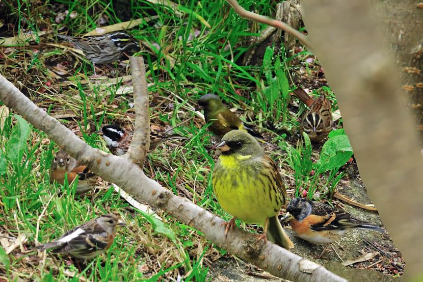 舳倉島-水場にやって来た小鳥たちーアトリ、ホオジロの仲間他—2012.5.6—