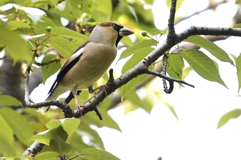 シメ(Hawfinch)       —15.4.23—