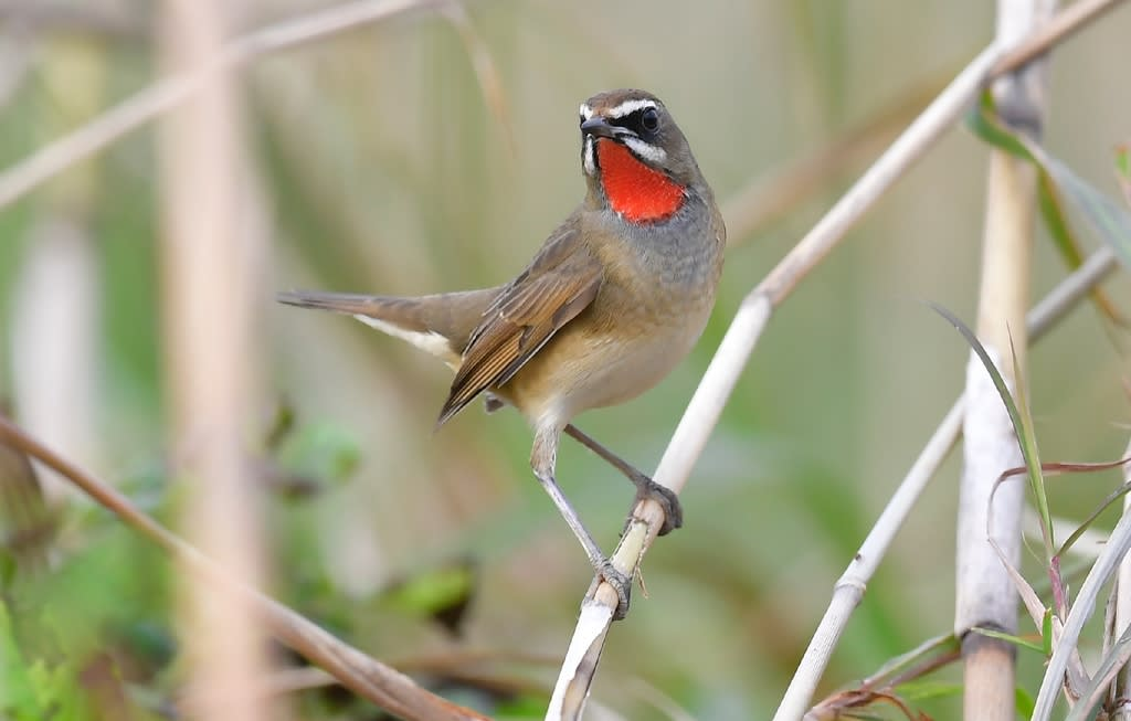 ノゴマ(Siberian  Ruby-throat)    —2018.10.26—