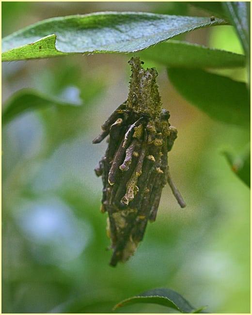蓑虫ーミノムシ(bagworm moth)     —15.8.30—