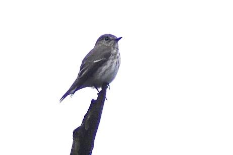 エゾビタキ(Grey-streaked Flycatcher)      —2016.9.21—