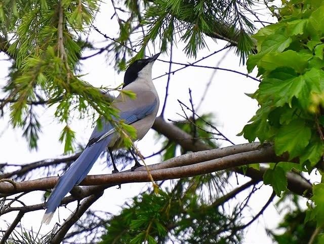 オナガ(Azure-winged Magpie)   —2017.4.26—