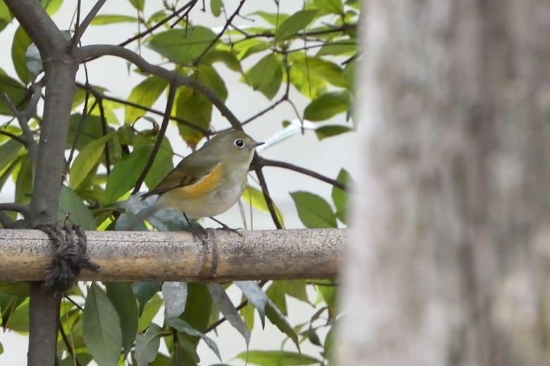 ルリビタキをはじめ冬の小鳥たちが大にぎわい —12.12.23—