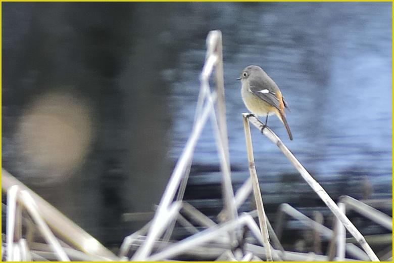 ジョウビタキ(Daurian Redstart) ♀       —16.1.23—