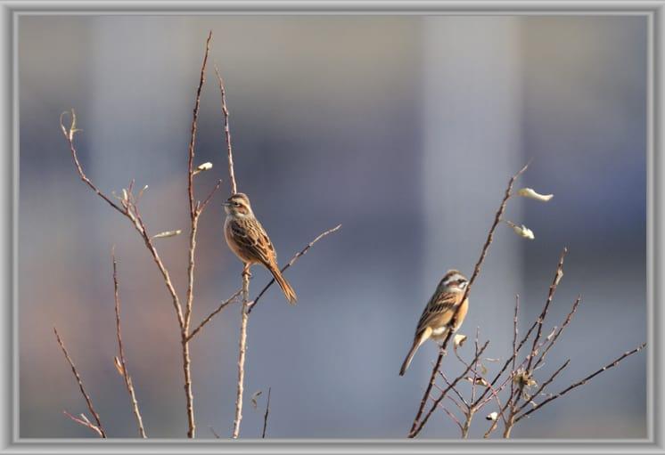 カシラダカRustic Bunting,(Emberiza rustica)とホオジロを多摩川の大きな河原で—12.1.18—