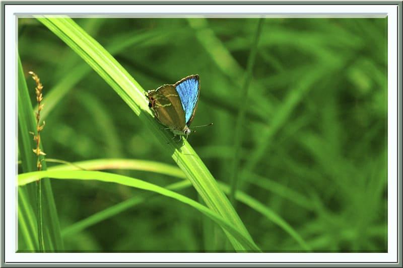 ミドリシジミNeozephyrus japonicusを初撮り —12.6.23—