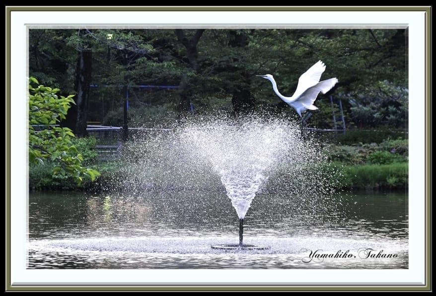 コサギが池に・・・   —15.4.27—