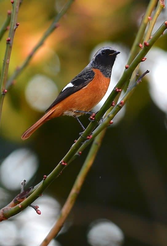 ジョウビタキ(Daurian Redstart) — 2017.12.26—